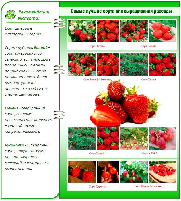 Клубника симфония: описание и характеристики сорта, правила выращивания