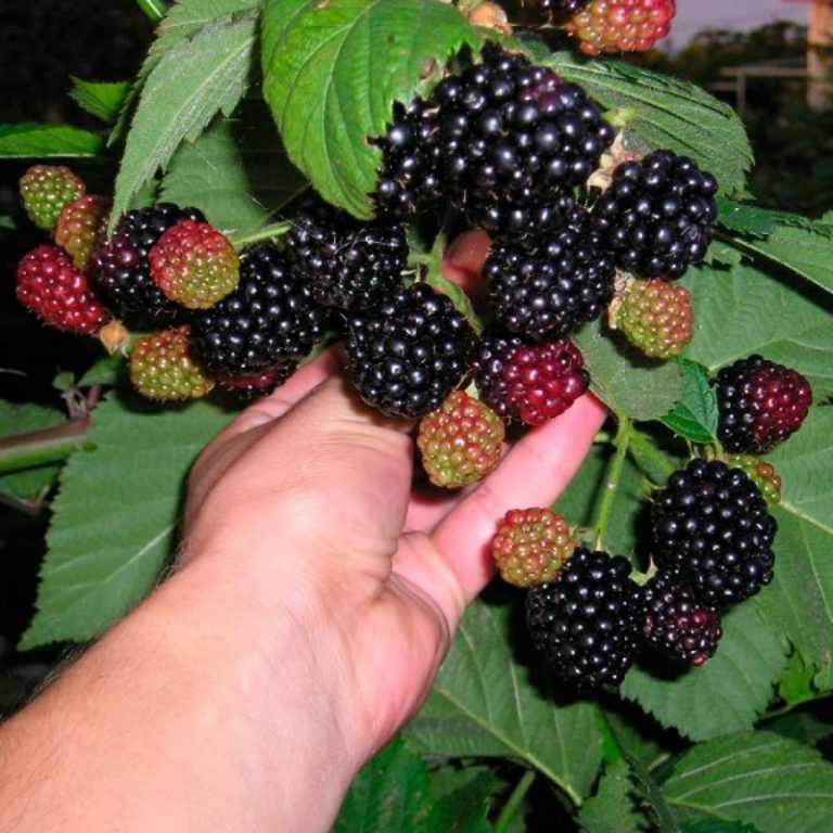 Ежевика агавам: описание сорта и советы по посадке и уходу