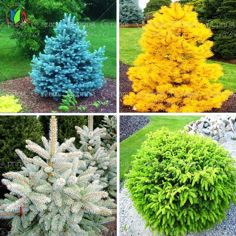 Хвойные кустарники для сада — названия декоративных кустарников