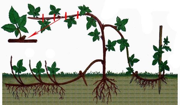 Размножение ежевики: самые эффективные варианты размножения ягоды