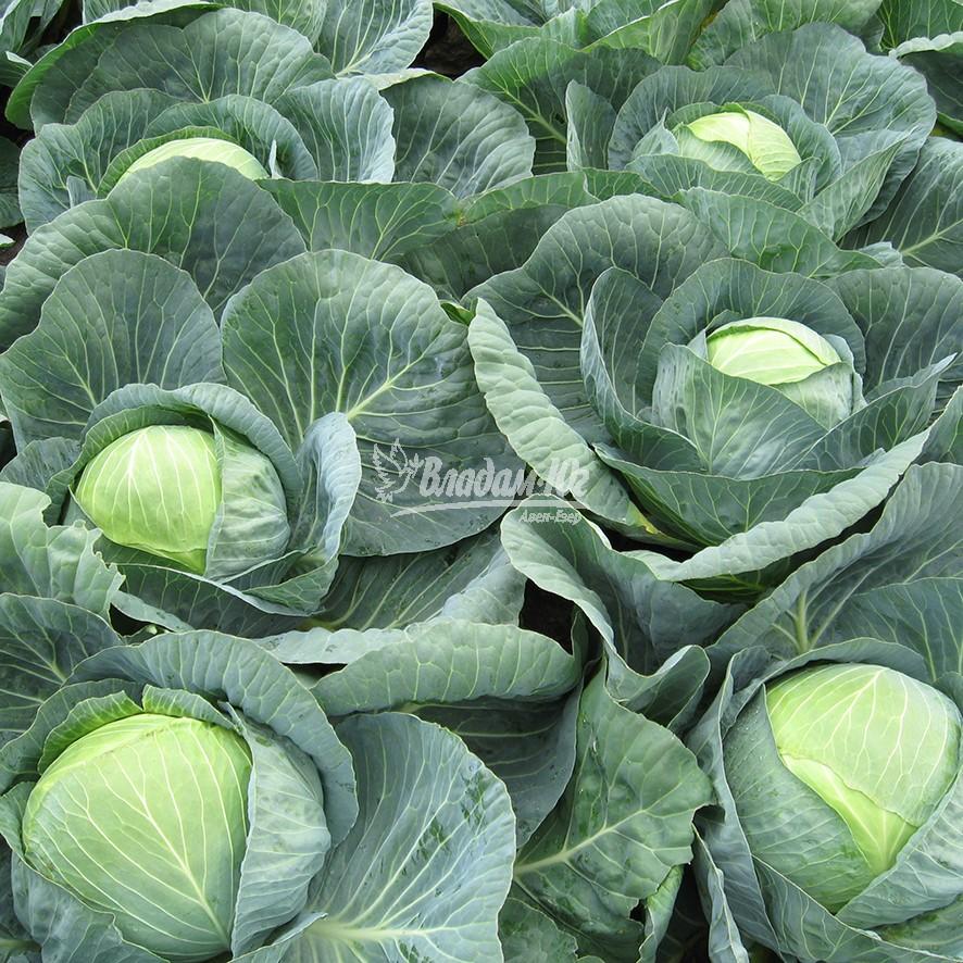 Капуста центурион f1: семена