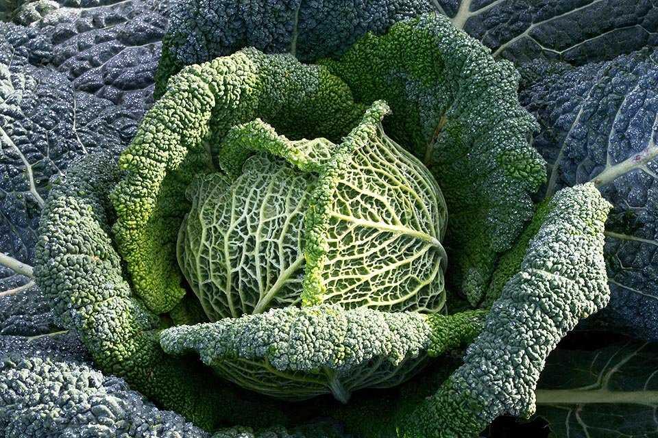 Все о любимом растении. виды капусты