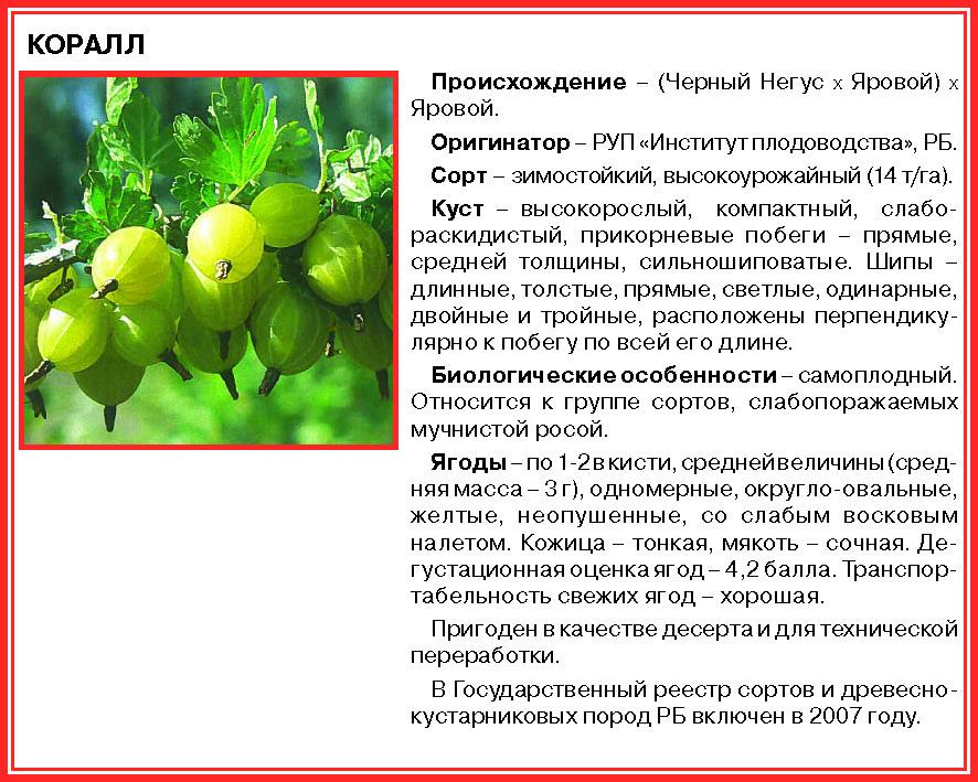 """Крыжовник """"колобок"""": описание сорта, фото, отзывы"""