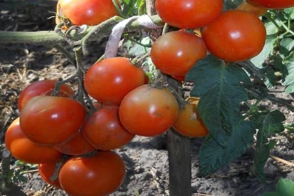 Томат новичок: описание и характеристика сорта, особенности посадки и выращивания помидоров, отзывы тех, кто сажал, фото