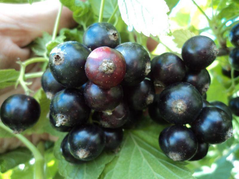 Смородина чёрная жемчужина. описание сорта