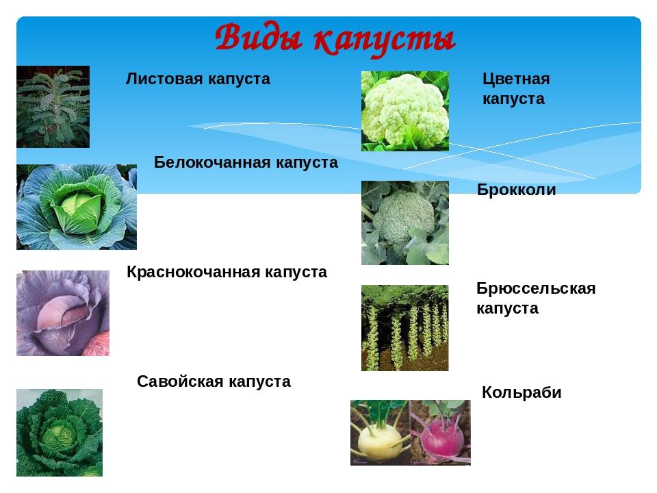 Виды капусты: их фото, названия и описания