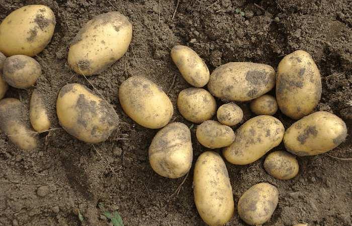 Картофель зорачка: описание и характеристика, отзывы
