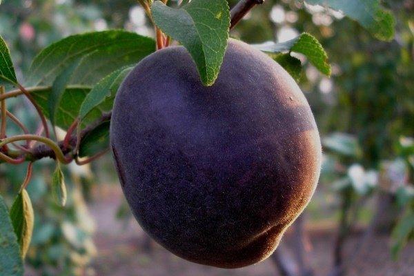 Абрикос чёрный бархат: удивительный сорт