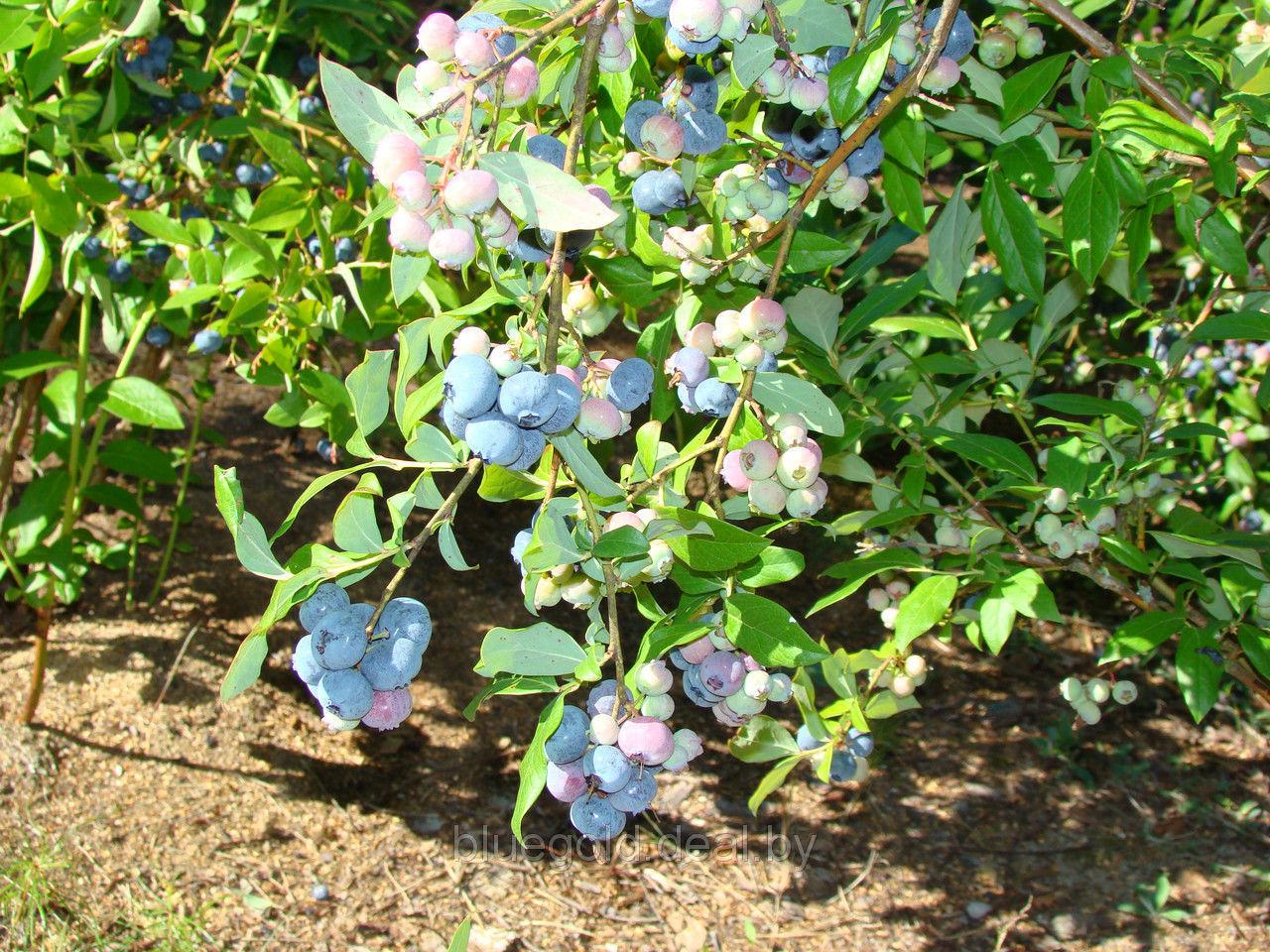 Голубика денис блю: описание сорта и характеристики, посадка и уход, отзывы с фото