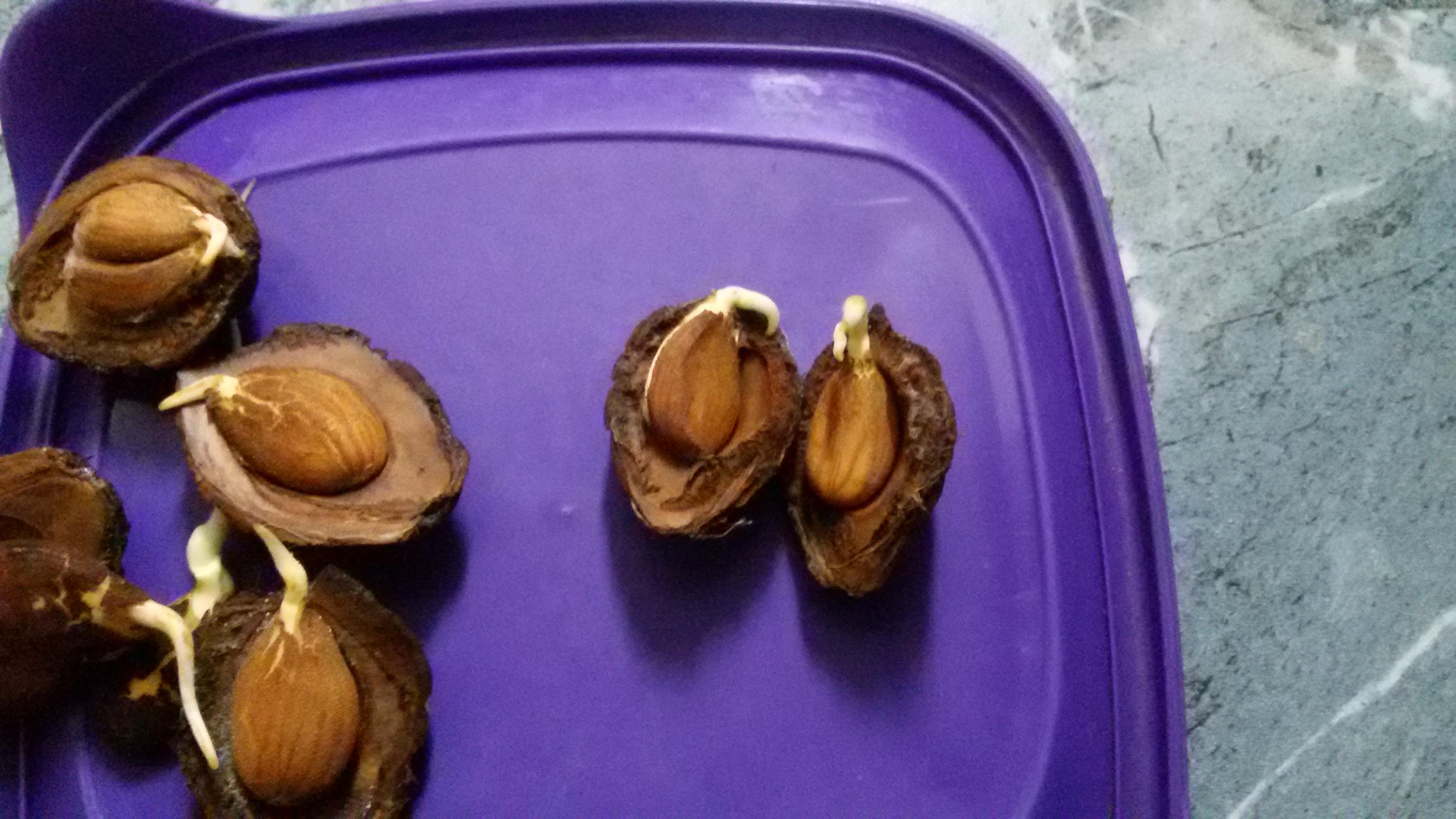 Как вырастить абрикос из косточки в домашних условиях и в открытом грунте, пошаговая инструкция с фото и видео