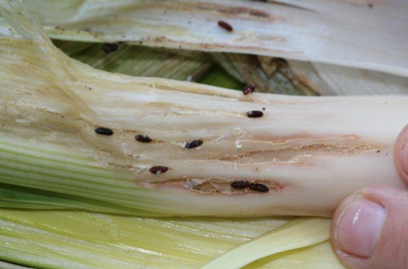Как избавиться от луковой мухи? народные методы и химические и биологические препараты.