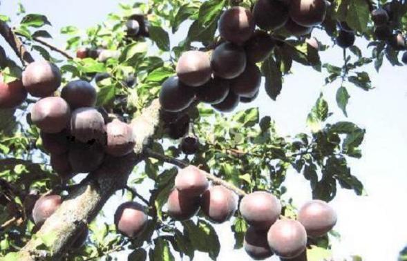 Абрикос чёрный бархат: описание сорта, фото абрикос чёрный бархат: описание сорта, фото