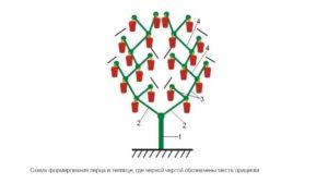Формирование перца - схемы, структуры и правила формирования (100 фото)