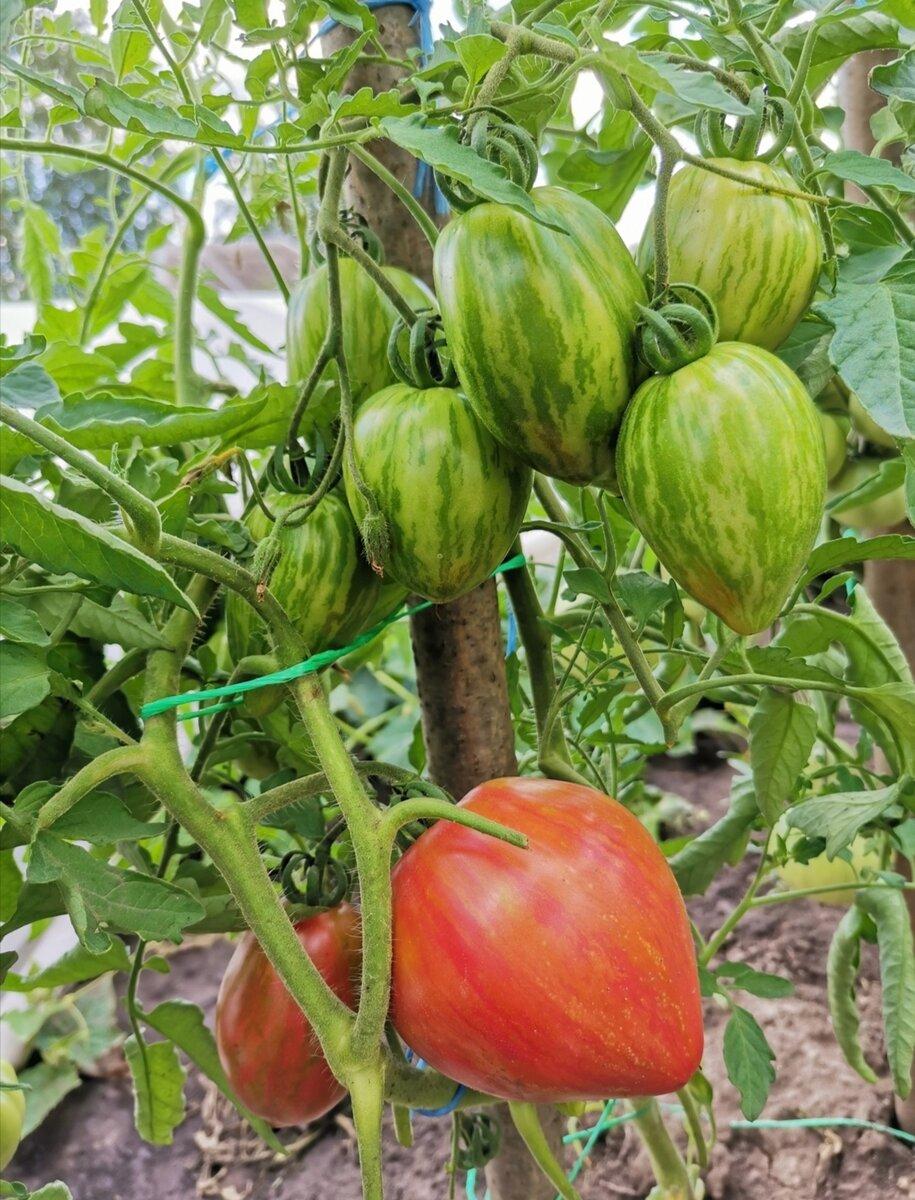 Томат данна: описание и характеристика сорта, мнение садоводов с фото