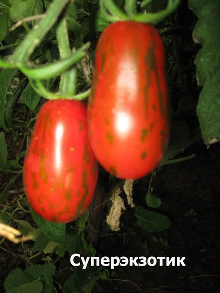 Детерминантный и индетерминантный сорт помидор – что это? - огород, сад, балкон - медиаплатформа миртесен