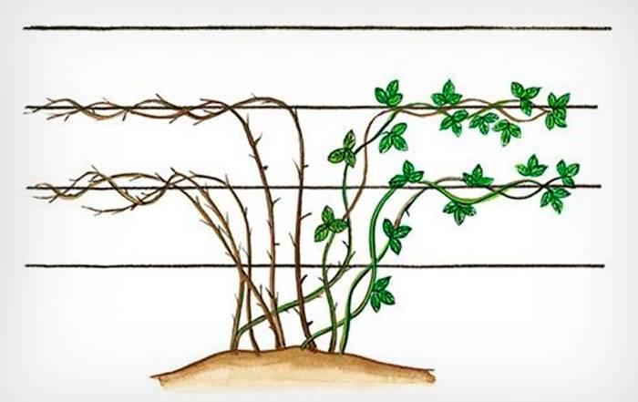Ежевика: посадка и уход, описание выращивания, свойства, размножение, фото