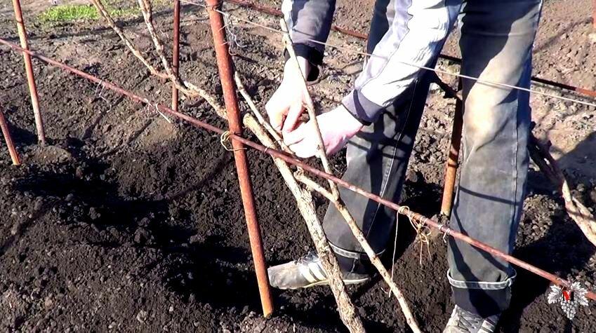 Как правильно подвязать виноград весной для начинающих на даче