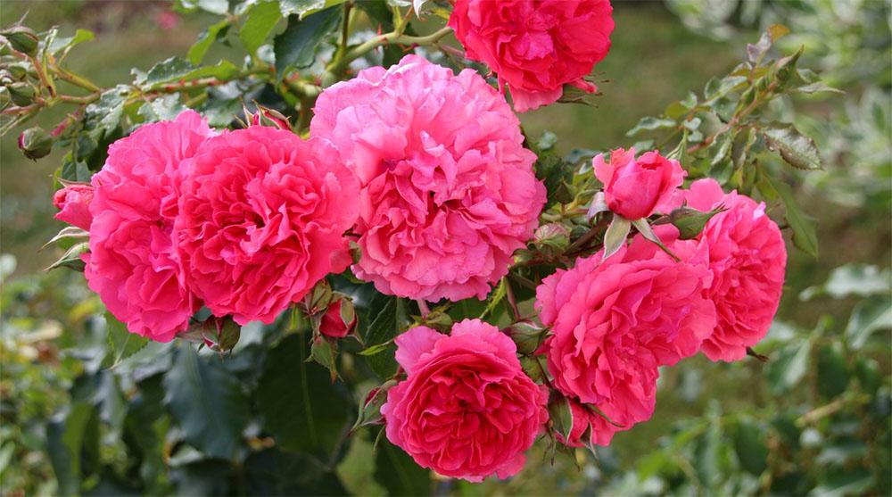 Роза плетистая розариум ютерсен: фото, описание, отзывы садоводов