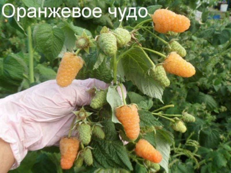 На какие чудеса способна малина оранжевое чудо