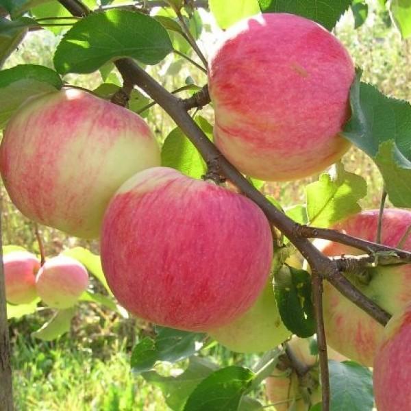 Особенности посадки и ухода за яблоней сорта «благая весть»