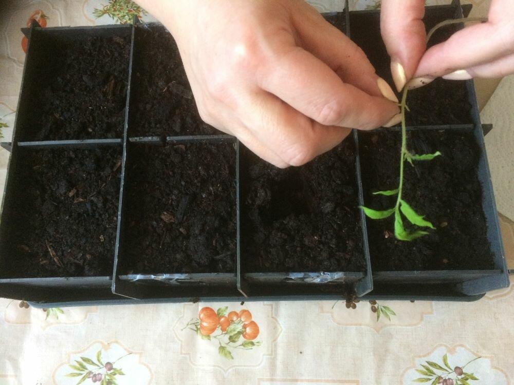 Когда и как пикировать рассаду помидоров пошагово с фото видео