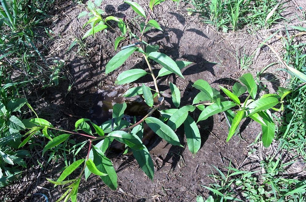 Плоды на персике из косточки уже на третий год — это реально!