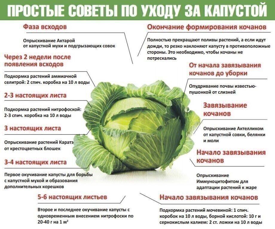 Когда, как часто и как правильно поливать капусту в открытом грунте