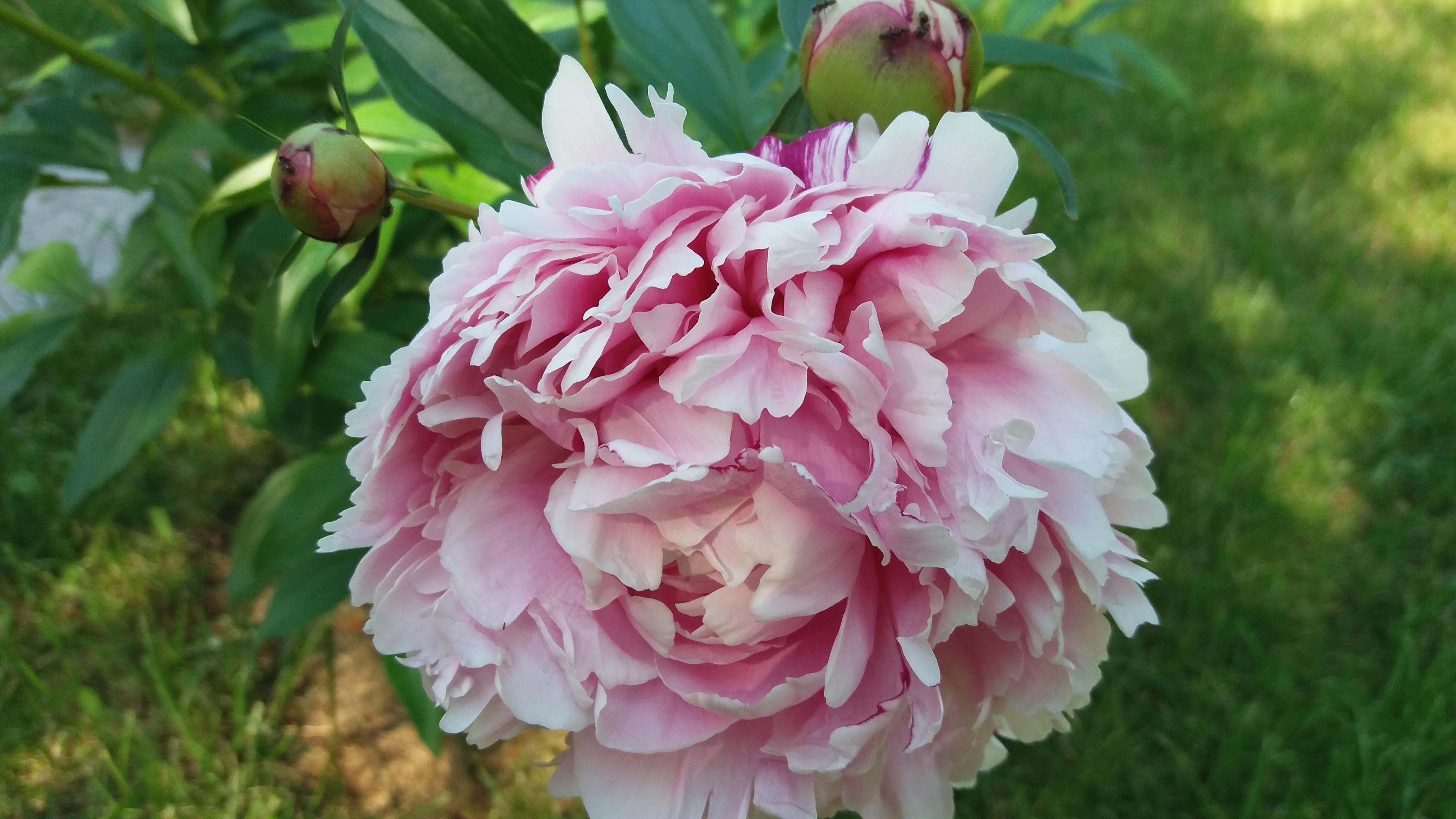 Пион сара бернар — характеристика сорта и особенности ухода