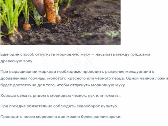 Морковная муха: как с ней бороться, чем обработать, народные средства