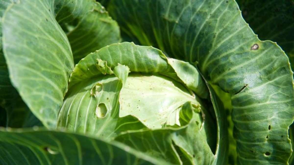 Гусеница на капусте: чем и как обработать, народные средства и другие меры борьбы