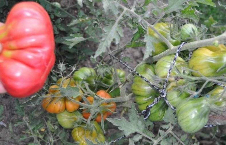 Томат «тлаколула де матаморос». описание сорта: характеристика урожайности и агротехника посадки, уход и выращивание помидора (фото)