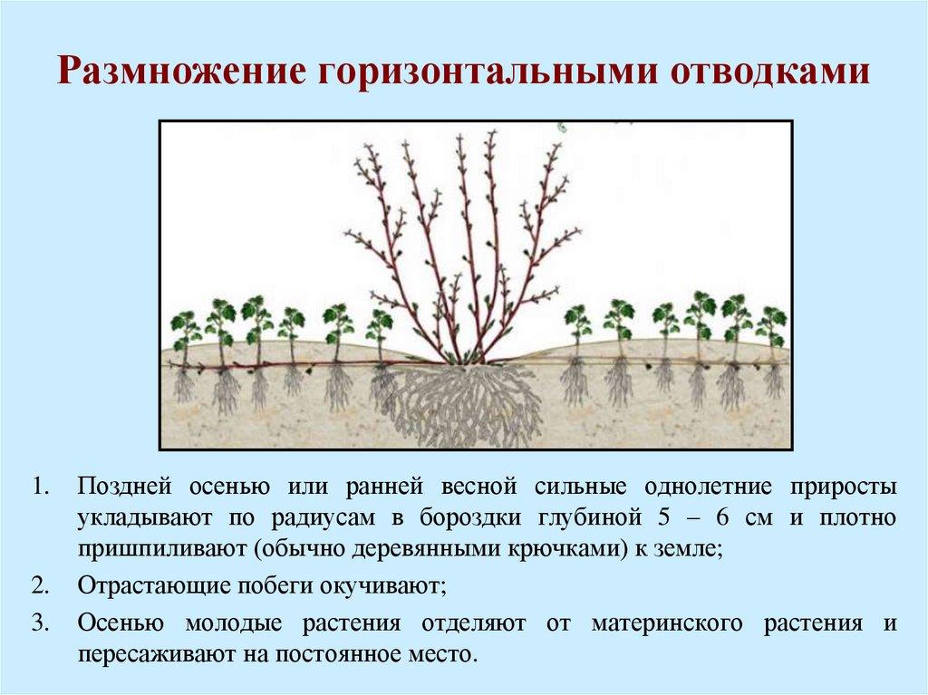Как рассадить крыжовник: 4 способа для лета, весны и осени