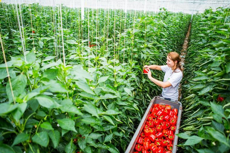 Сладкий перец: секреты успешного выращивания | good-tips.pro
