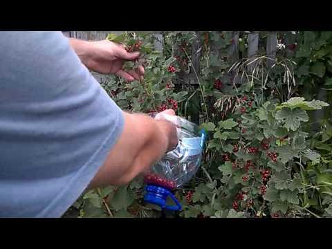 Уход за смородиной ранней весной на даче, чтобы был хороший урожай, борьба с вредителями, видео