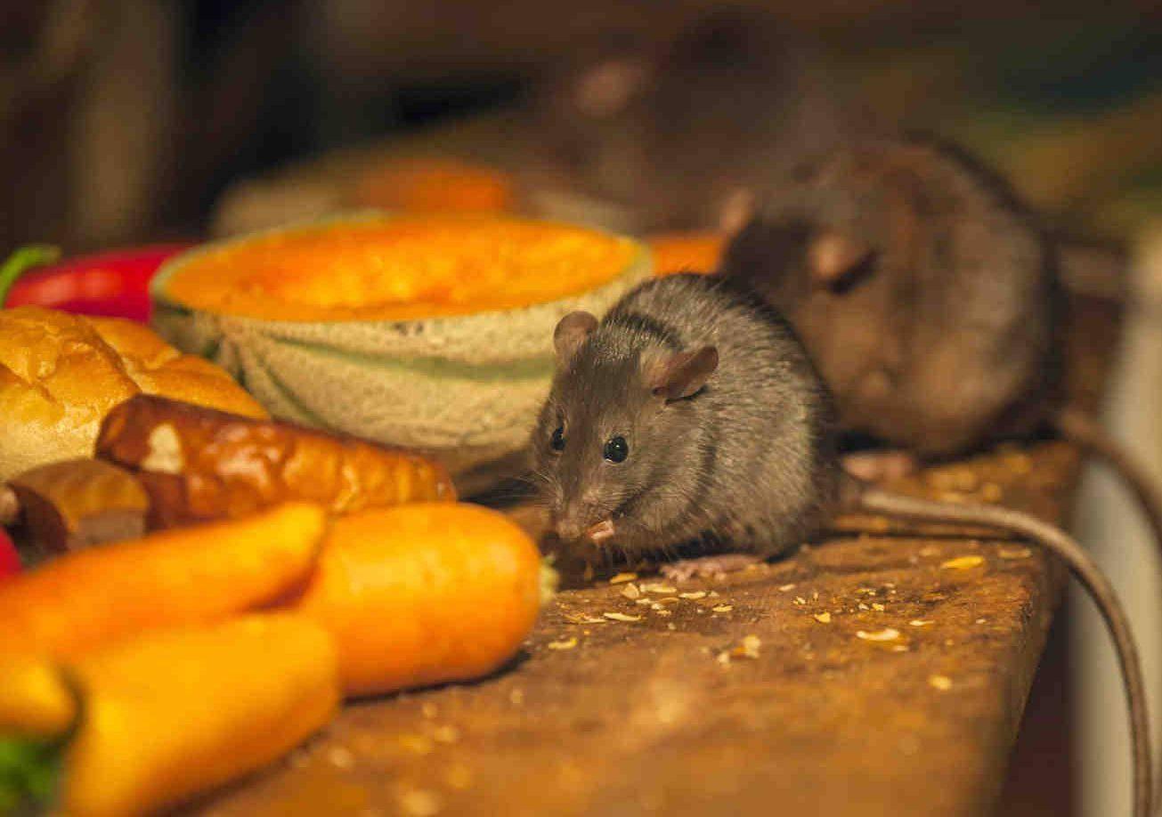 Борьба с мышами в огороде и саду. основные способы и методы борьбы