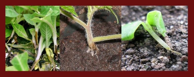Черная ножка у растений: как бороться и лечить, симптомы и возбудители заболевания, профилактика появления, какие культуры поражает