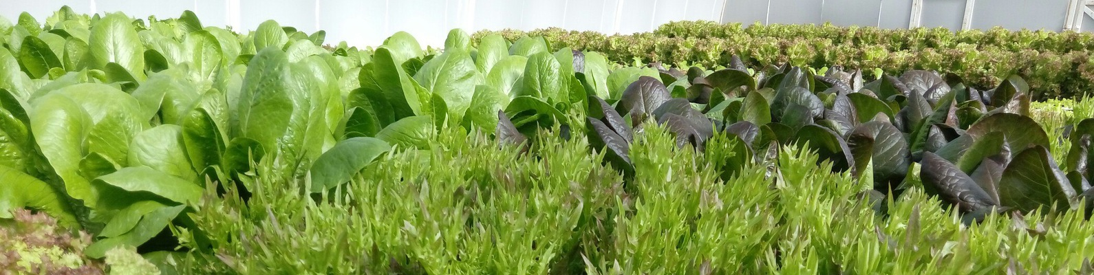 Выращивание базилика в теплице зимой: как правильно вырастить