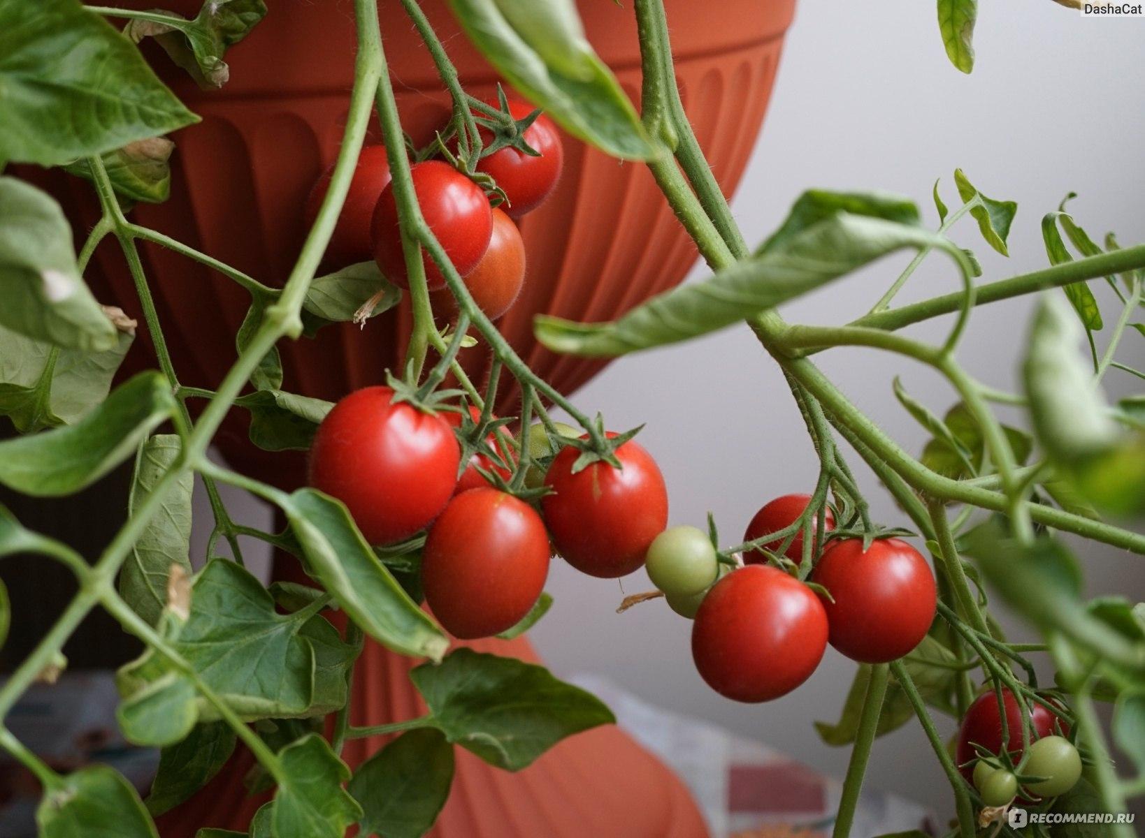 Томат чудо гроздь f1: отзывы, описание, основные характеристики