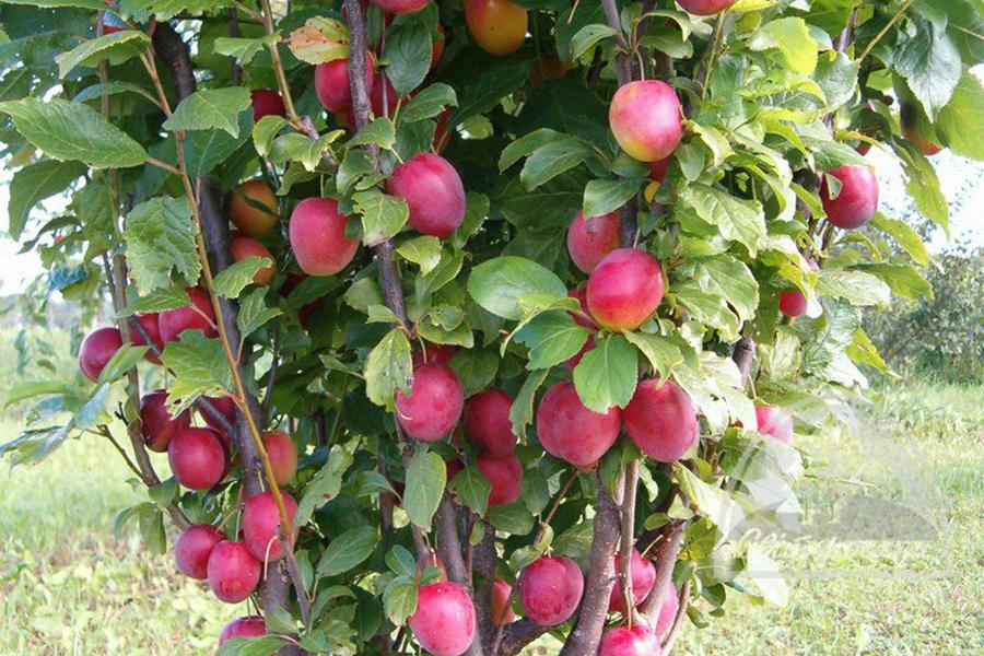 Выбираем лучшие сорта яблони для подмосковья