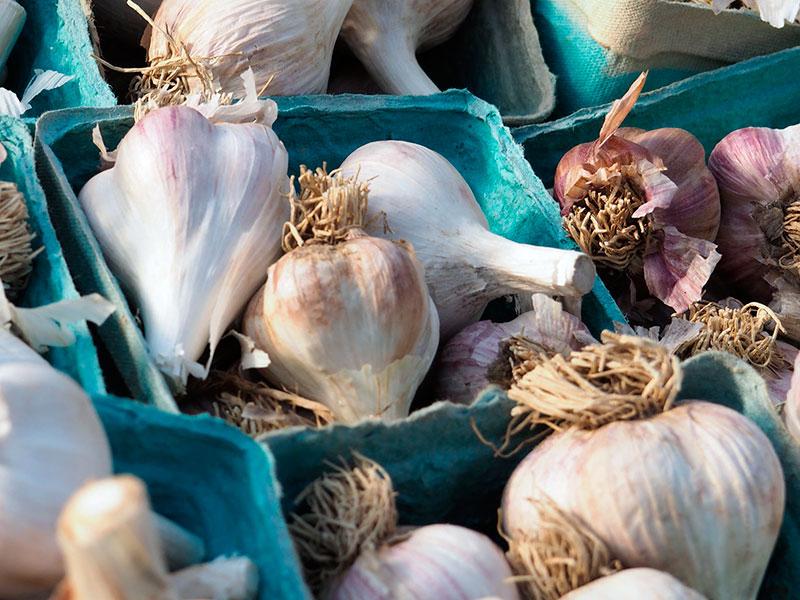 Чем подкормить озимый чеснок весной, посаженный под зиму: удобрения, когда и чем полить, схема подкормок