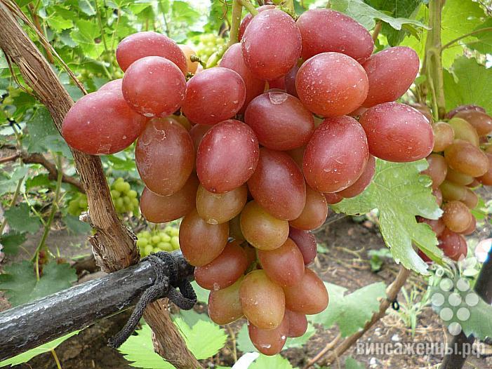 Виноград академик: описание и характеристики сорта, выращивание и размножение