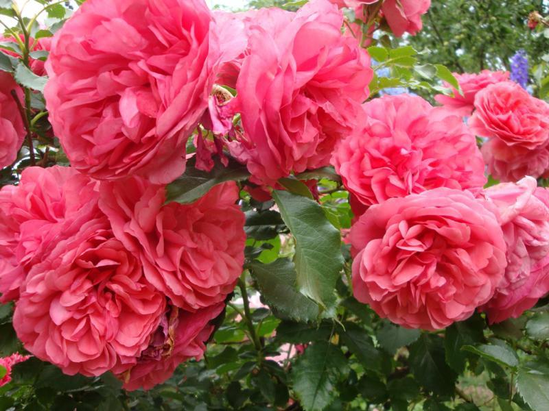 Роза розариум ютерсен: описание и характеристики, особенности выращивания плетистого сорта + отзывы садоводов, фото