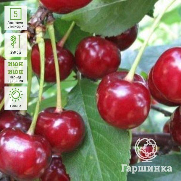 Войлочная вишня - посадка и уход, размножение и сорта