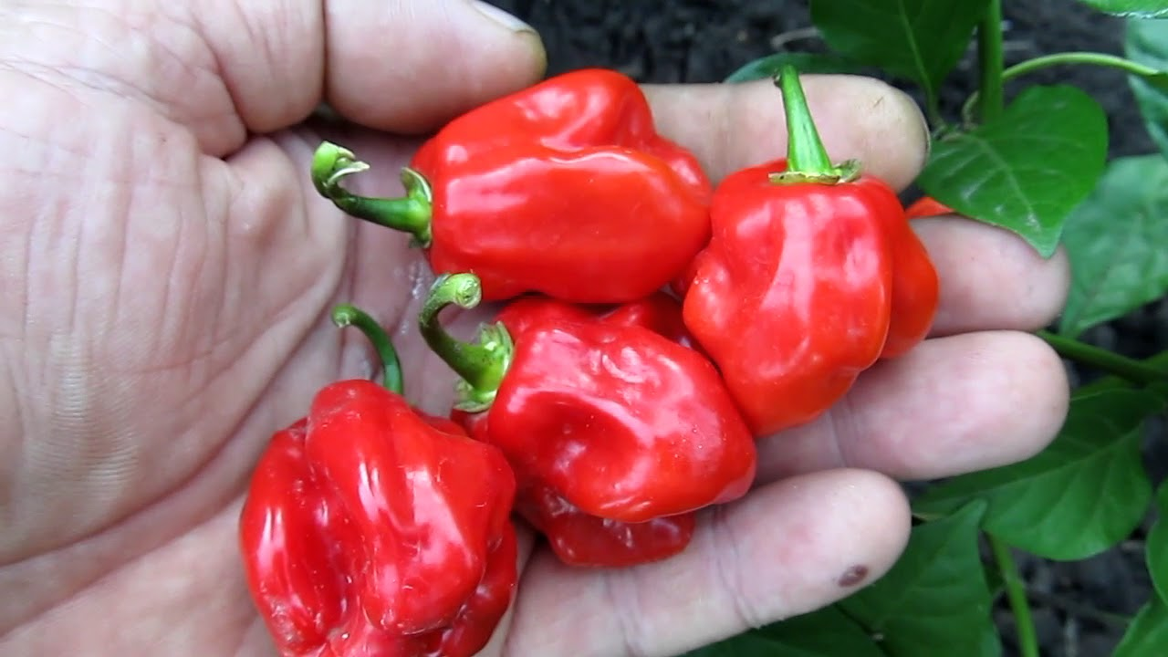 Перец хабанеро: описание сорта, фото, виды, выращивание и уход