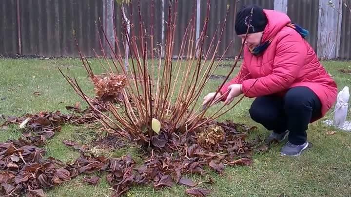 Хоста — уход осенью и подготовка к зиме: обрезка и укрытие