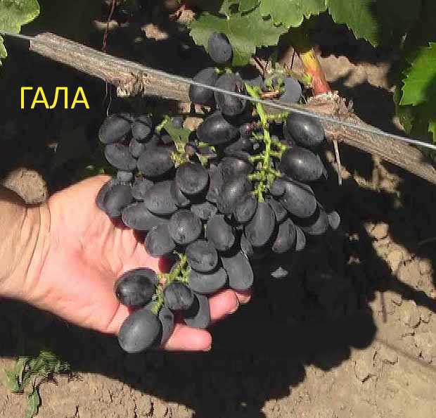 Виноград лора (флора) – характеристика и описание сорта