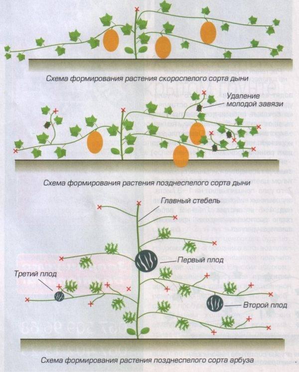 Выращивание дынь в теплице легким способом в разных регионах