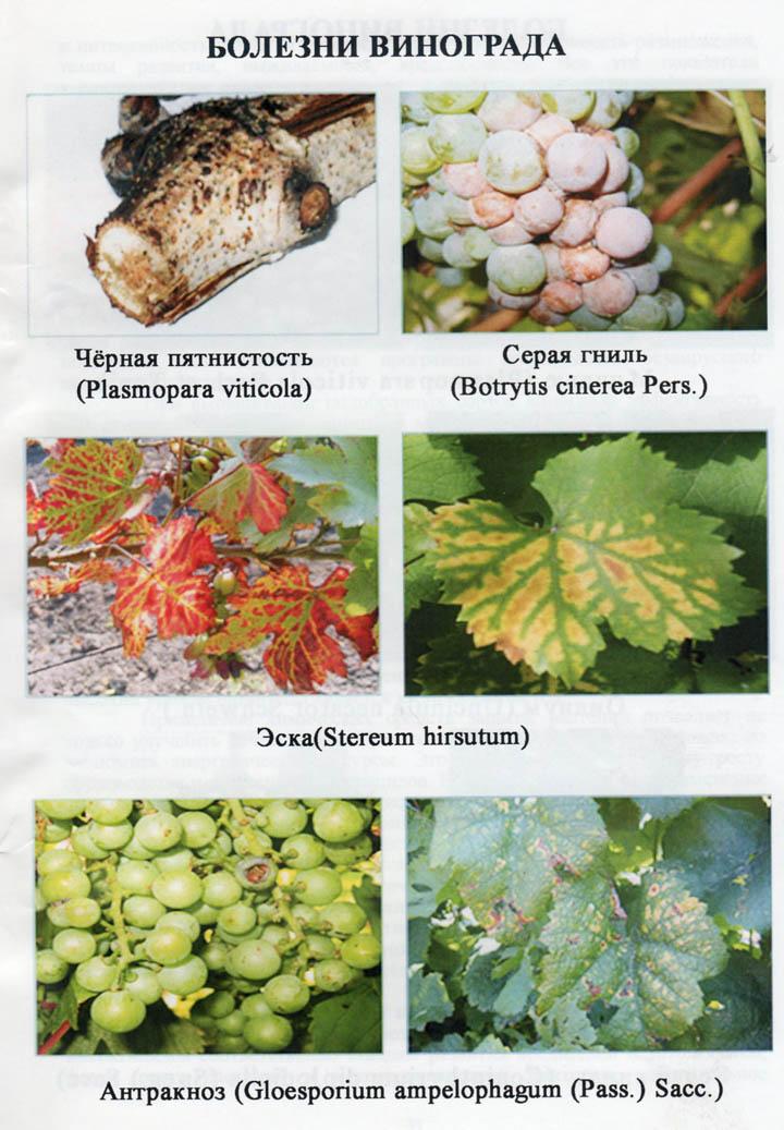 11 советов, как победить грибковые болезни винограда