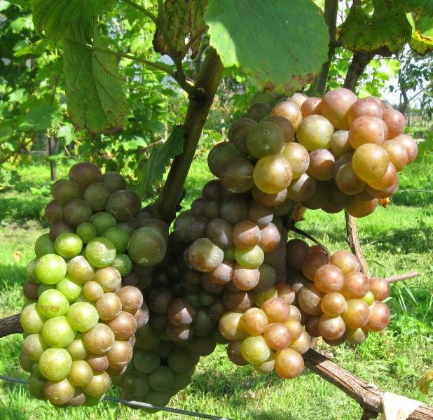 Pinot (пино гриджио, гри, фран, блан) — вино и сорт винограда, описание