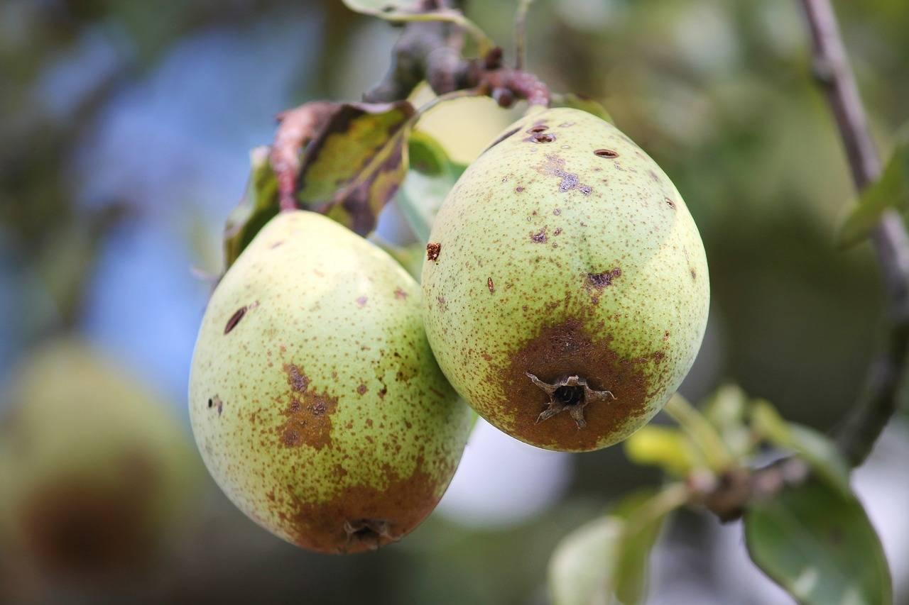 Абрикос сбрасывает плоды